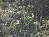 百年鐘萼木   :DSC05189.JPG