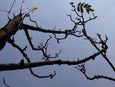 百年鐘萼木   :DSC08879 (Copy).jpg