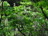 百年鐘萼木   :DSC03531 (Copy).jpg
