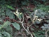 鐘萼木杜鵑花 2014.02.17    阿課達人攝:DSC05794.JPG