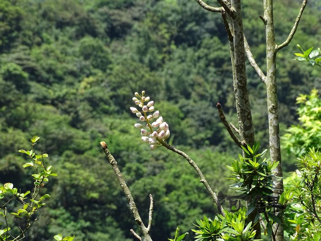 百年鐘萼木   :DSC06772.jpg
