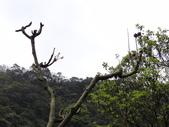鐘萼木杜鵑花 2014.02.17    阿課達人攝:DSC05799         花苞  果實.JPG