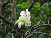百年鐘萼木   :DSC01870 (Copy).jpg