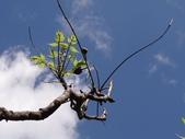 百年鐘萼木   :DSC06522 (Copy).JPG