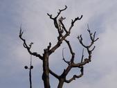 鐘萼木杜鵑花 2014.02.17    阿課達人攝:DSC06127.JPG