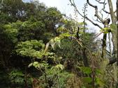 鐘萼木杜鵑花 2014.02.17    阿課達人攝:DSC06139.JPG