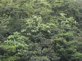 百年鐘萼木   :DSC02324 (Copy).jpg