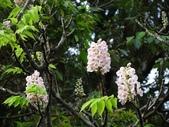 百年鐘萼木   :DSC01837 (Copy).jpg