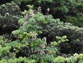 百年鐘萼木   :DSC08137.JPG