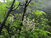 百年鐘萼木   :DSC02216 (Copy).jpg