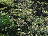 百年鐘萼木   :3.jpg