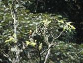 百年鐘萼木   :DSC04938.JPG