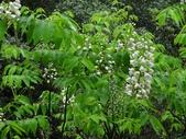 百年鐘萼木   :DSC00802 (Copy).jpg