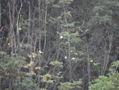 百年鐘萼木   :DSC09677.JPG