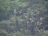 百年鐘萼木   :1061291735_l.jpg