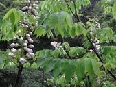 百年鐘萼木   :DSC00193 (Copy).jpg