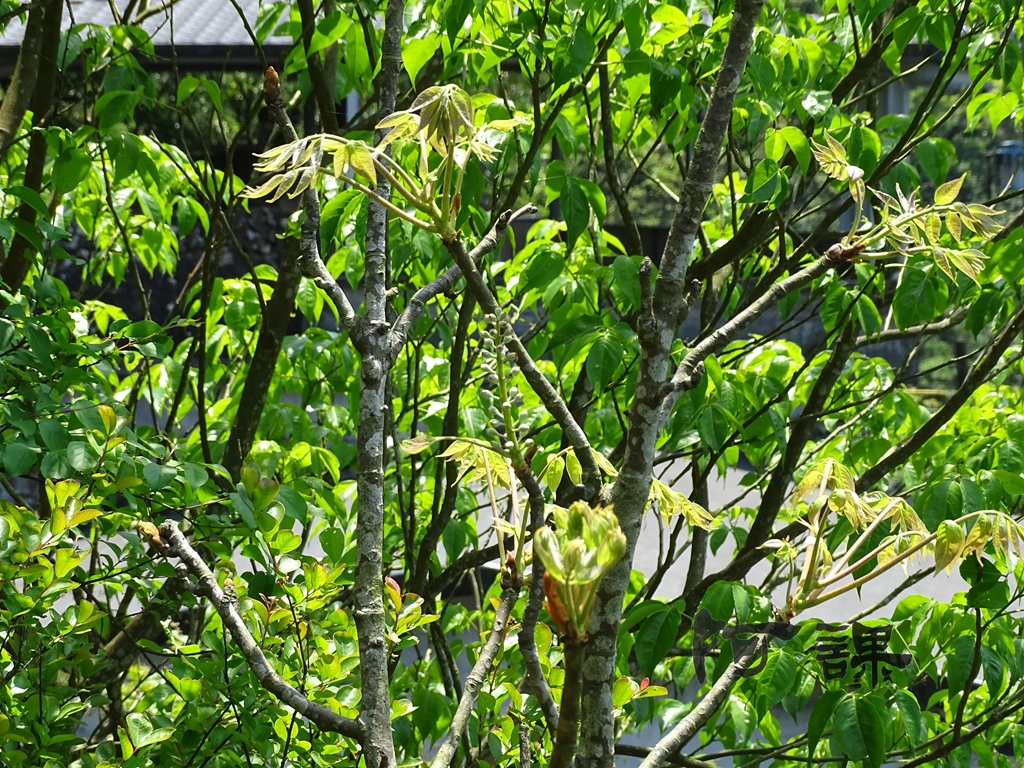 百年鐘萼木   :DSC06777.jpg