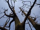百年鐘萼木   :DSC08831 (Copy).jpg