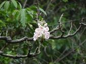 百年鐘萼木   :DSC01866 (Copy).jpg