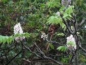 百年鐘萼木   :DSC01960 (Copy).jpg