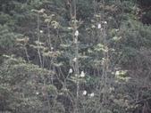 百年鐘萼木   :DSC09666.JPG