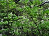 百年鐘萼木   :DSC00707 (Copy).jpg