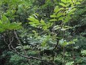 百年鐘萼木   :DSC08260 (Copy).jpg