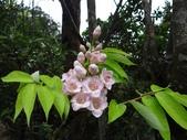 百年鐘萼木   :DSC01762 (Copy).jpg