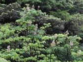 百年鐘萼木   :DSC08131.JPG