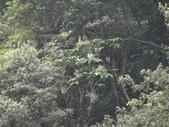 百年鐘萼木   :DSC06453.JPG