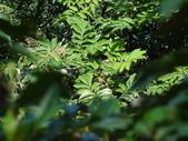 百年鐘萼木   :1.jpg
