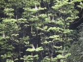 百年鐘萼木   :DSC08285.JPG