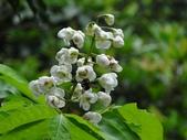 百年鐘萼木   :DSC04442          蜜蜂 (Copy).jpg