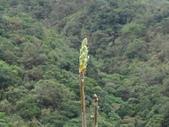 百年鐘萼木   :DSC06174.JPG