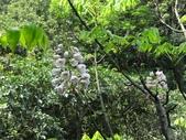 百年鐘萼木   :DSC09785 (Copy).jpg