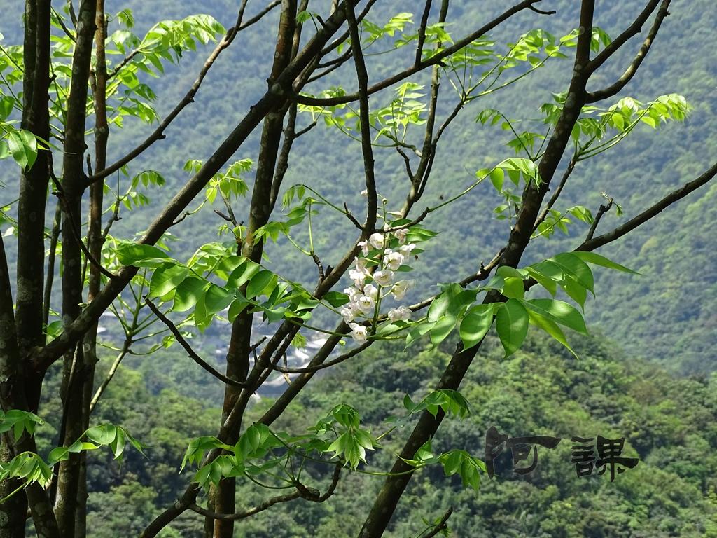 百年鐘萼木   :DSC06794.jpg
