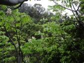 百年鐘萼木   :DSC00159 (Copy).jpg