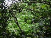 百年鐘萼木   :DSC03120 (Copy).jpg