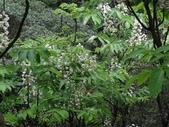 百年鐘萼木   :DSC01912 (Copy).jpg