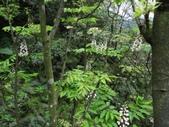 百年鐘萼木   :DSC06635.JPG