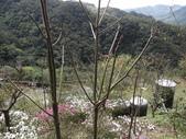 鐘萼木杜鵑花 2014.02.17    阿課達人攝:DSC04764.JPG
