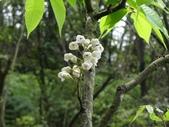百年鐘萼木   :DSC03910 (Copy).jpg