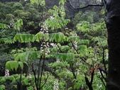 百年鐘萼木   :DSC00181 (Copy).jpg