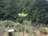 百年鐘萼木   :DSC06409.JPG