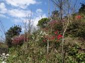 鐘萼木杜鵑花 2014.02.17    阿課達人攝:DSC04767.JPG