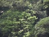 百年鐘萼木   :DSC08704.JPG