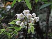 百年鐘萼木   :DSC04650 (Copy).jpg