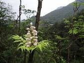 百年鐘萼木   :DSC02108.JPG