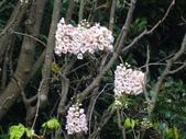 百年鐘萼木   :DSC09721.jpg