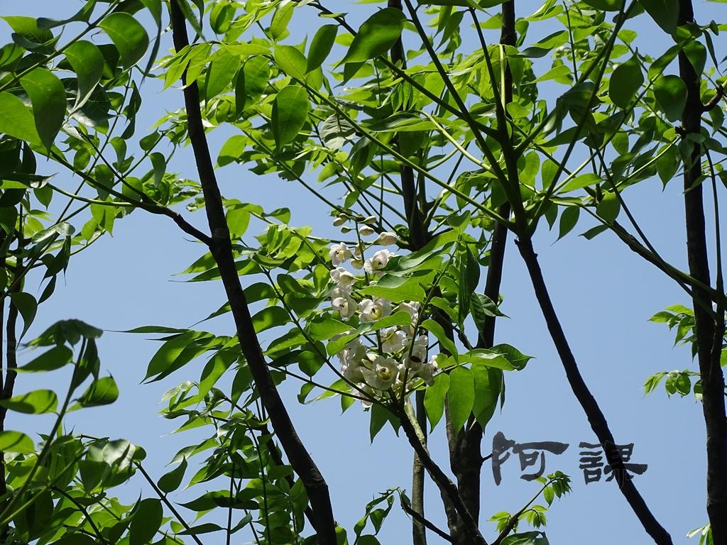 百年鐘萼木   :DSC06798.jpg